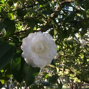 Camélia nos jardins do Palácio de Cristal