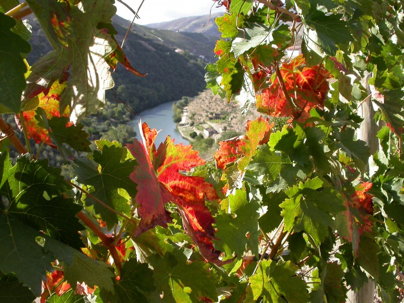Autumn vineyard leaves overlooking Douro river and mountains