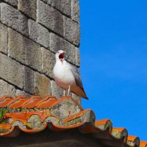 Seagull yawning in Porto