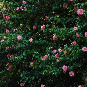 Pink Camellias in Villar d'Allen