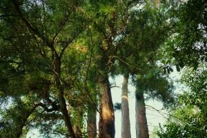 Villar D'Allen Pine Trees