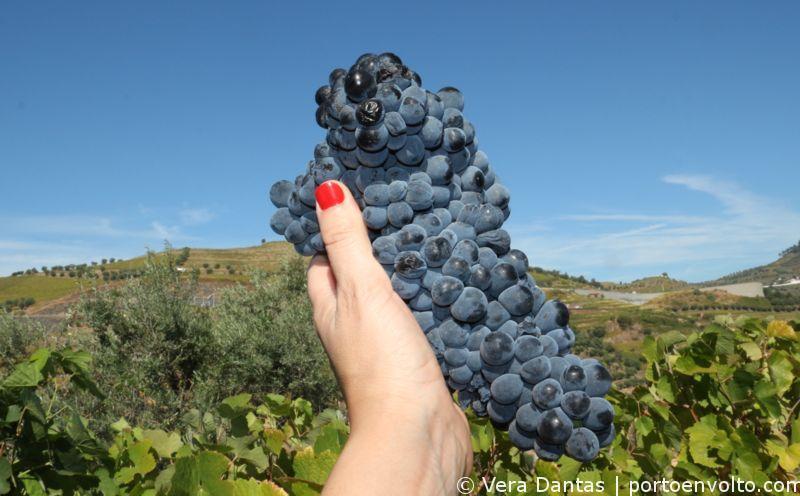 Viagem às Vindimas no Douro - Cacho de uvas da Quinta do Vallado