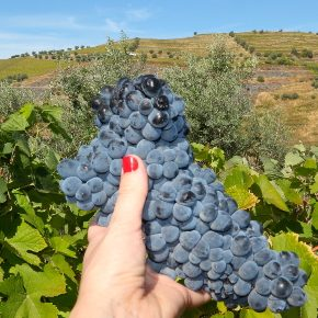 The Perfect Douro Wine Harvest Tour