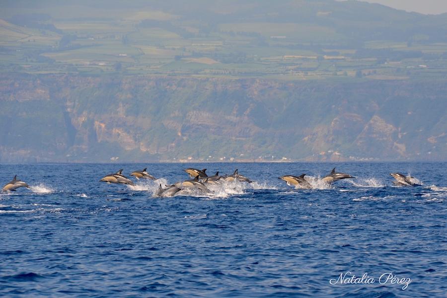 Golfinhos comuns em frente à Ilha de São Miguel, Açores