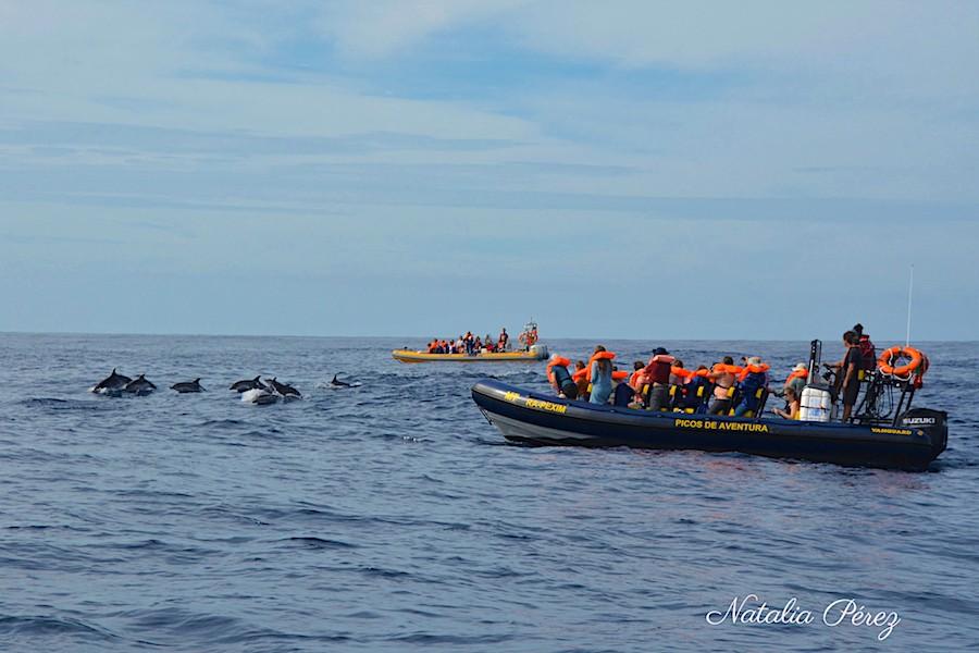 Semi-rígidos da Picos de Aventura junto a golfinhos nos Açores
